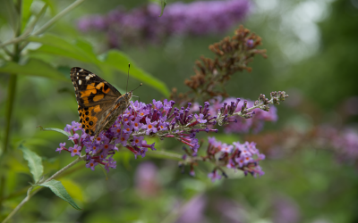 Butterfly Release 2015 Announced!!